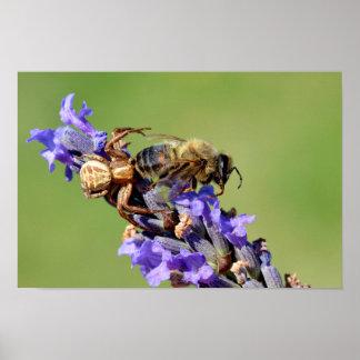Araña del cangrejo que come la abeja póster