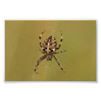 araña del Orbe-tejedor Fotos