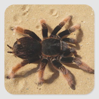 Araña del tarantula de Brachypelma en arena Calcomania Cuadrada Personalizada