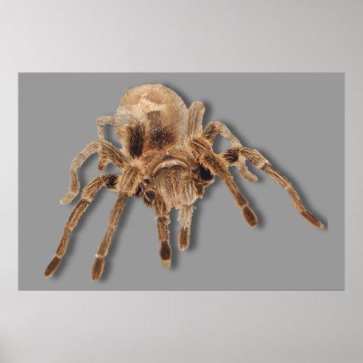 Araña del Tarantula Poster