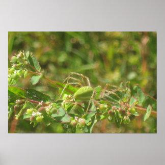 Araña verde del lince póster