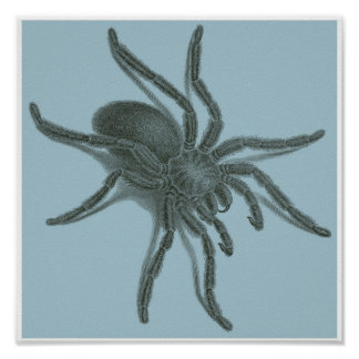 Aranea Avicularia, Black Cuban Spider Poster