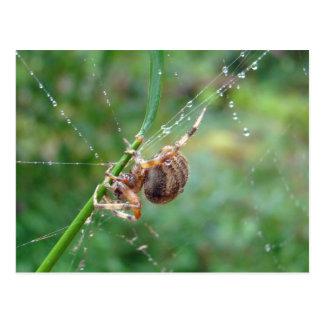Araneus - araña del tejedor del orbe postales