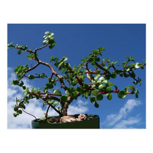 Árbol 1 del afra del portulacaria de los bonsais tarjeta postal