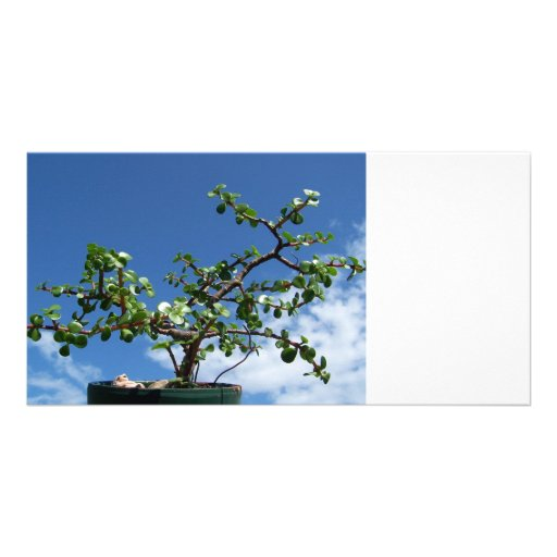 Árbol 2 del afra del portulacaria de los bonsais tarjeta fotografica personalizada