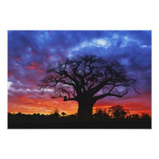 Árbol africano del baobab, digitata del Adansonia, Impresion Fotografica