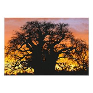 Árbol africano del baobab, digitata del Adansonia, Fotografía