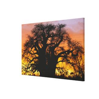 Árbol africano del baobab, digitata del Adansonia, Impresión En Lienzo Estirada