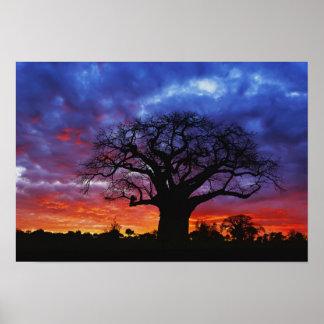 Árbol africano del baobab, digitata del Adansonia, Poster