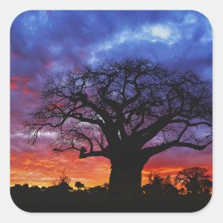 Árbol africano del baobab, digitata del Adansonia, Pegatinas Cuadradases