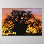 Árbol africano del baobab, digitata del Adansonia, Póster