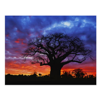 Árbol africano del baobab, digitata del Adansonia, Tarjeta Postal
