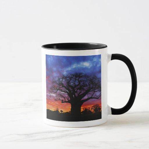 Árbol africano del baobab, digitata del Adansonia, Taza