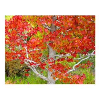 Árbol ambarino líquido del otoño postal