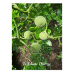 Árbol anaranjado espinoso tarjeta postal