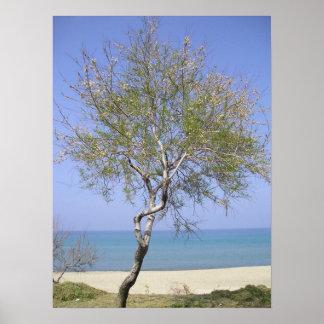 Árbol azotado por el viento, Cefalu Italia Posters