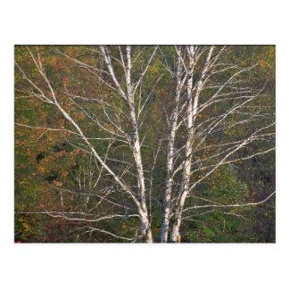 Árbol de abedul blanco abstracto al borde de un ha postales