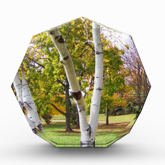 Árbol de abedul en el parque