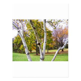 Árbol de abedul en el parque postales
