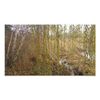 Árbol de abedul impresion fotografica
