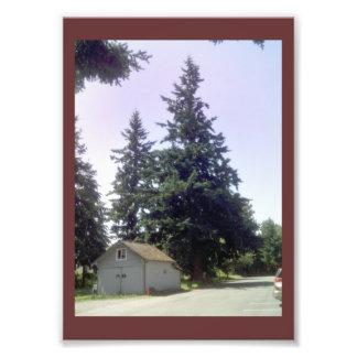 Árbol de abeto de douglas en la acción de la foto cojinete