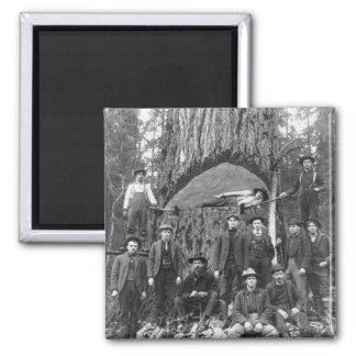 Árbol de abeto gigante listo para caer, 1902 imán cuadrado
