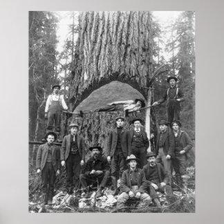 Árbol de abeto gigante listo para caer, 1902 poster