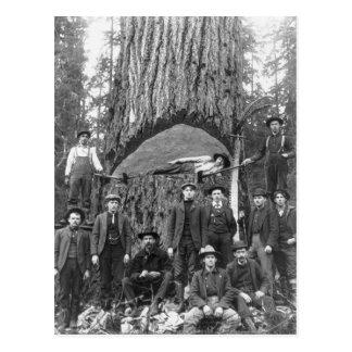 Árbol de abeto gigante listo para caer, 1902 tarjetas postales