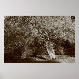 Árbol de acebo - sepia póster