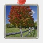 Árbol de arce rojo en colores del otoño, cerca de  ornato