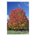 Árbol de arce rojo en colores del otoño, cerca de  arte fotográfico