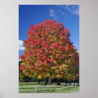 Árbol de arce rojo en colores del otoño, cerca de  póster
