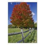 Árbol de arce rojo en colores del otoño, cerca de  felicitaciones