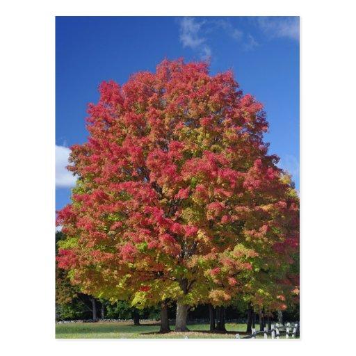 Árbol de arce rojo en colores del otoño, cerca de  postal