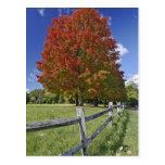 Árbol de arce rojo en colores del otoño, cerca de  postales