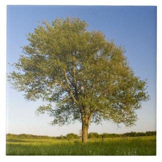 Árbol de arce solitario en campo del heno en la gr azulejo cuadrado grande