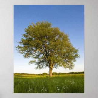 Árbol de arce solitario en campo del heno en la gr póster