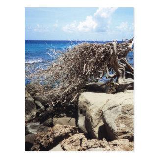 Árbol de Aruba Divi Divi en el océano Postal