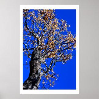 Árbol de Chinaberry contra el cielo azul Póster