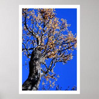 Árbol de Chinaberry Póster