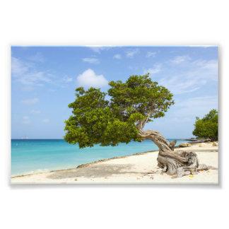 Árbol de Divi Divi en la isla caribeña de Aruba Fotografía