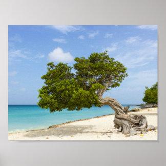 Árbol de Divi Divi en la isla caribeña de Aruba Póster