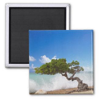 Árbol de Divi Divi, playa de Eagle, Aruba, del Car Imán Cuadrado