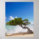Árbol de Divi Divi, playa de Eagle, Aruba, del Car Poster