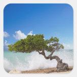 Árbol de Divi Divi, playa de Eagle, Aruba, del Pegatinas Cuadradas