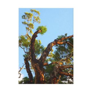 Árbol de eucalipto impresiones en lienzo estiradas