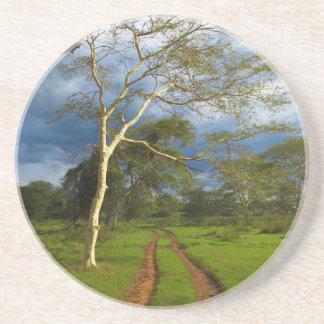 Árbol de fiebre (acacia Xanthophloea) por la pista Posavasos Personalizados