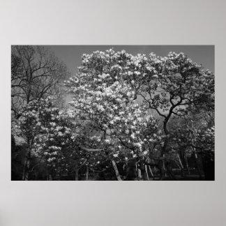 Árbol de la magnolia en el flor (B&W) Póster