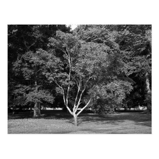 Árbol de la magnolia en el verano BW Tarjetas Postales