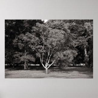 Árbol de la magnolia en el verano - tono caliente  póster